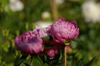 pivoine-rose-juin-2009